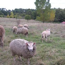 Elevage de moutons bio
